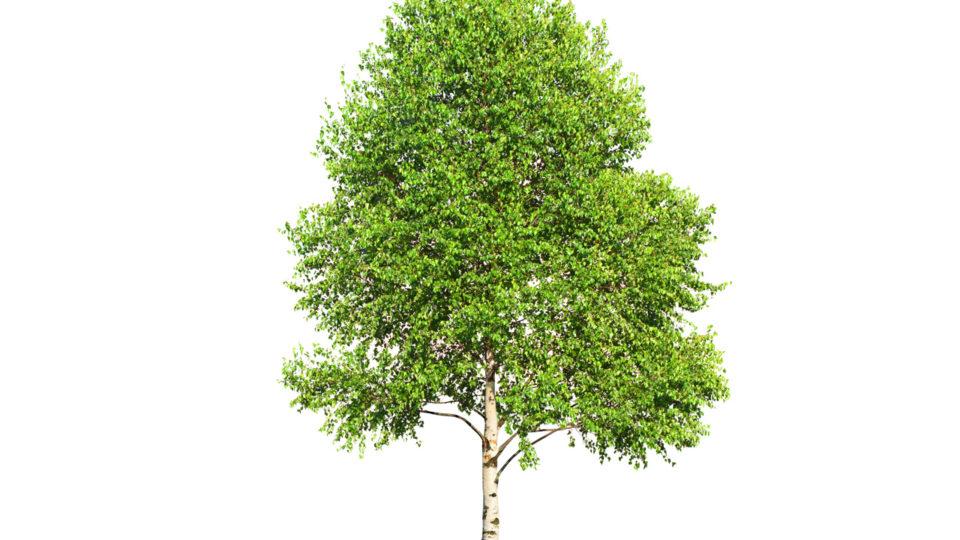 Ny banebrydende pille giver immunterapi til træpollen-allergikere